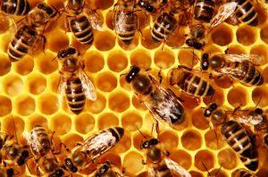 propolis dari lebah madu