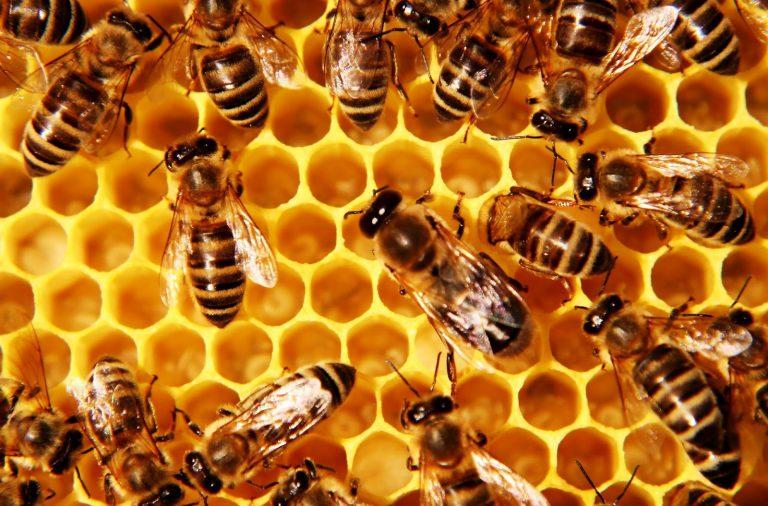 propolis lebah