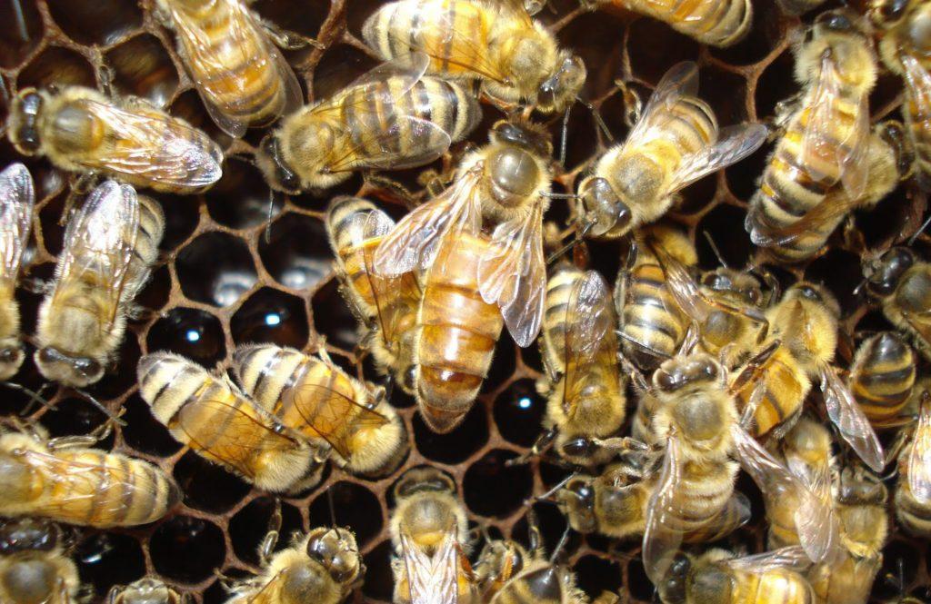 sarang lebah penghasil propolis