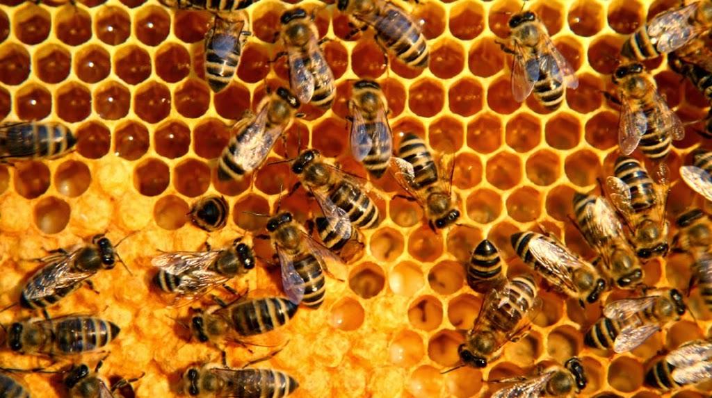 propolis lebah madu