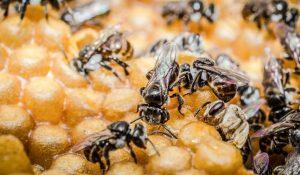 lebah trigona